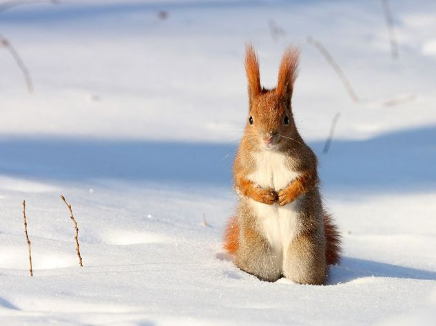 red-squirrel-snow-poland