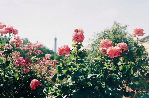 paris rose romantic