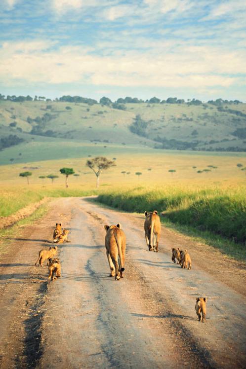 lion's family