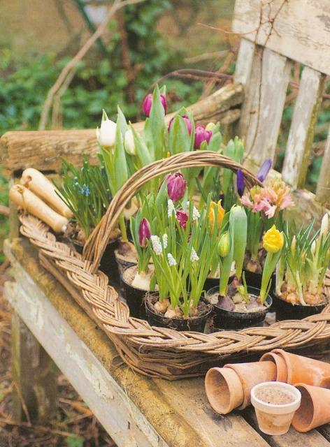 tulipes flowers