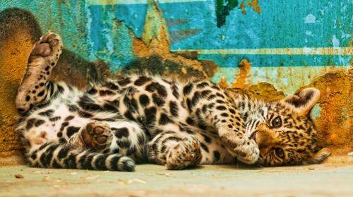 pantera cub