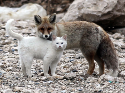 fox and cat3