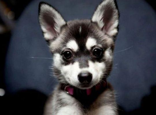 hushky