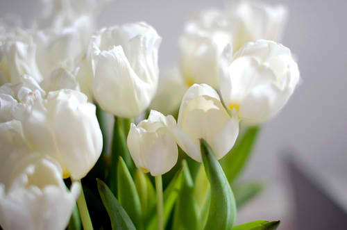 white tulipes